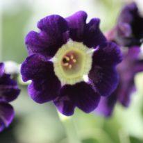 PRIMULA auricula Blue Velvet - Woottens Plant Nursery.