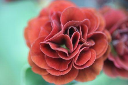PRIMULA auricula Stromboli - Woottens Plant Nursery Suffolk