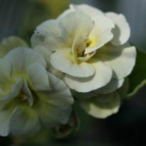 PRIMULA auricula Firsby