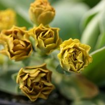 PRIMULA auricula Forest Cappucino - Woottens Plant Nursery Suffolk.
