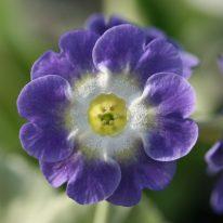 PRIMULA auricula Bowens Blue