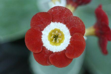 PRIMULA auricula Pride of Poland - Woottens Plant Nursery Suffolk.