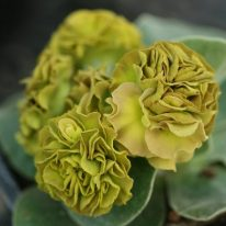 PRIMULA auricula Avon Twist - Woottens Plant Nursery.