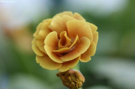 PRIMULA auricula Calypso - Woottens Plant Nursery Suffolk