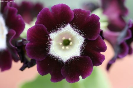 PRIMULA auricula Camelot - Woottens Plant Nursery Suffolk.