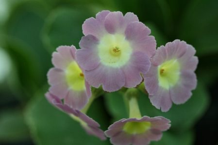 PRIMULA auricula Powder Puff - Woottens Plant Nursery Suffolk.