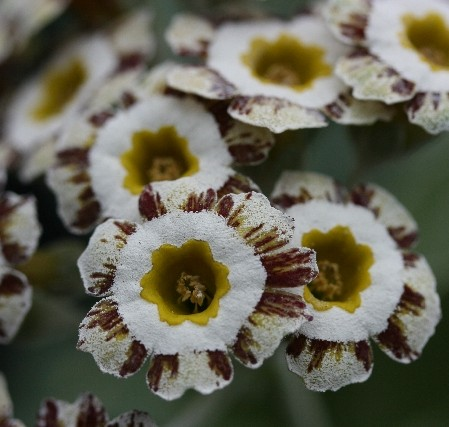 PRIMULA auricula Woottens Pearls Gem