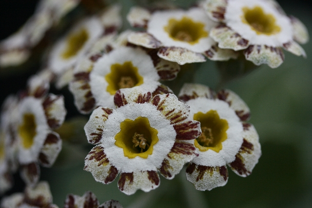 PRIMULA auricula Woottens Pearls Gem