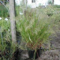 STIPA calamogrostis