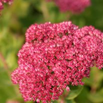 SEDUM spectabile Herbstfreude (Autumn Joy)