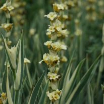 SISYRINCHIUM striatum Aunt May