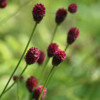 SANGUISORBA officinalis Tanna