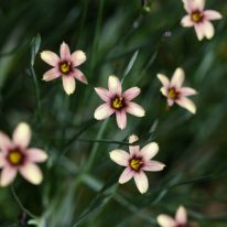 SISYRINCHIUM Biscutella