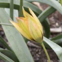 TULIPA orphanidea Flava