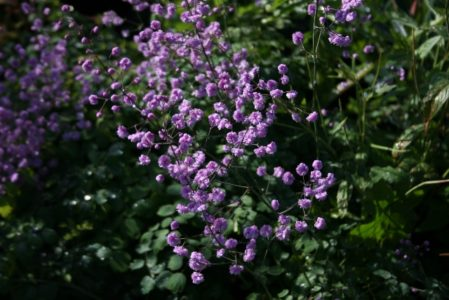 THALICTRUM delavayii Hewitts Double