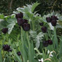 TULIPA Queen Of The Night