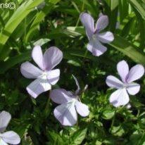 VIOLA cornuta Boughton Blue