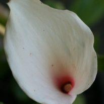 ZANTEDESCHIA Kiwi Blush