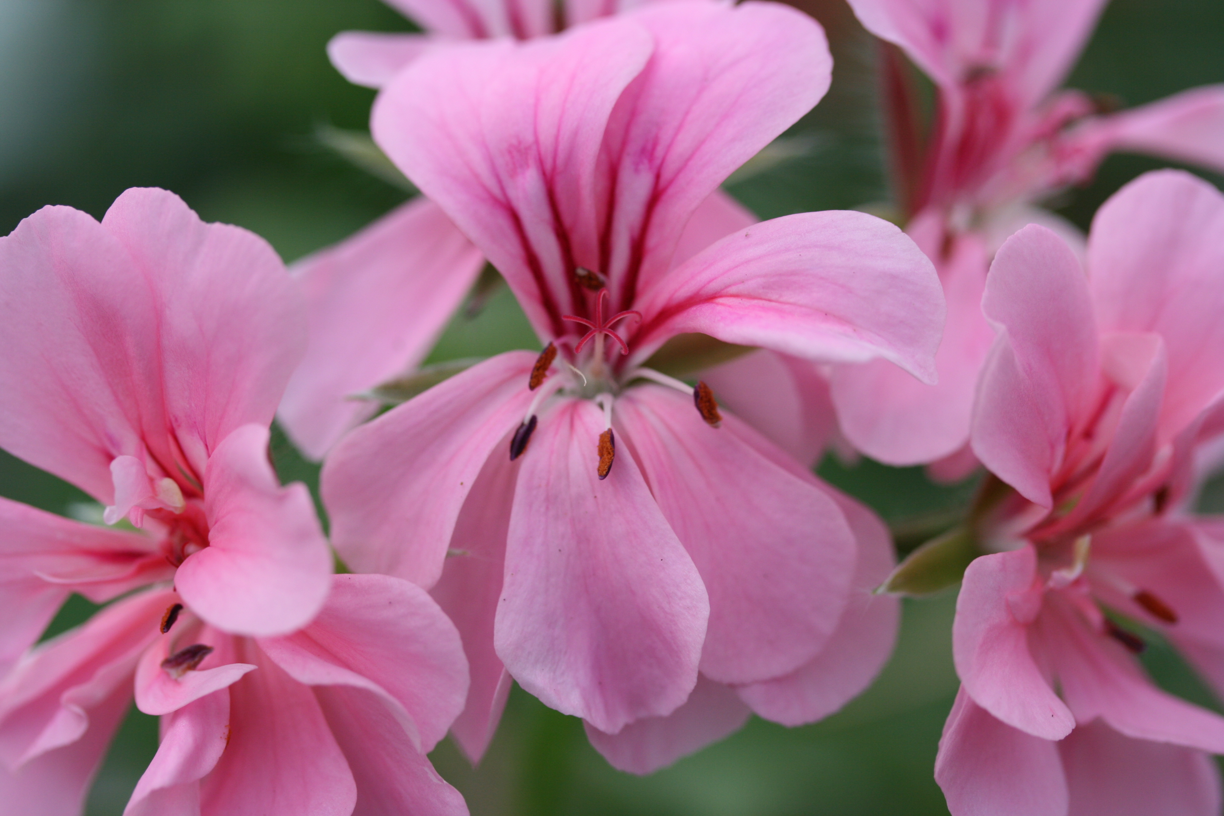 PELARGONIUM Madame Crousse photo