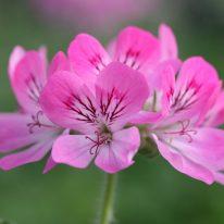 PELARGONIUM Pink Capricorn. Scented Leaf Pelargonium - Woottens