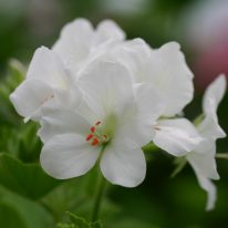PELARGONIUM cucullatum strigifolium White Form. Woottens