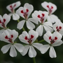 PELARGONIUM echinatum White Form. Species Pelargonium - Woottens