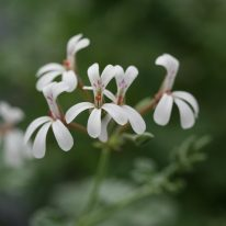 PELARGONIUM fragrans. Species Pelargonium - Woottens Plant Nursery