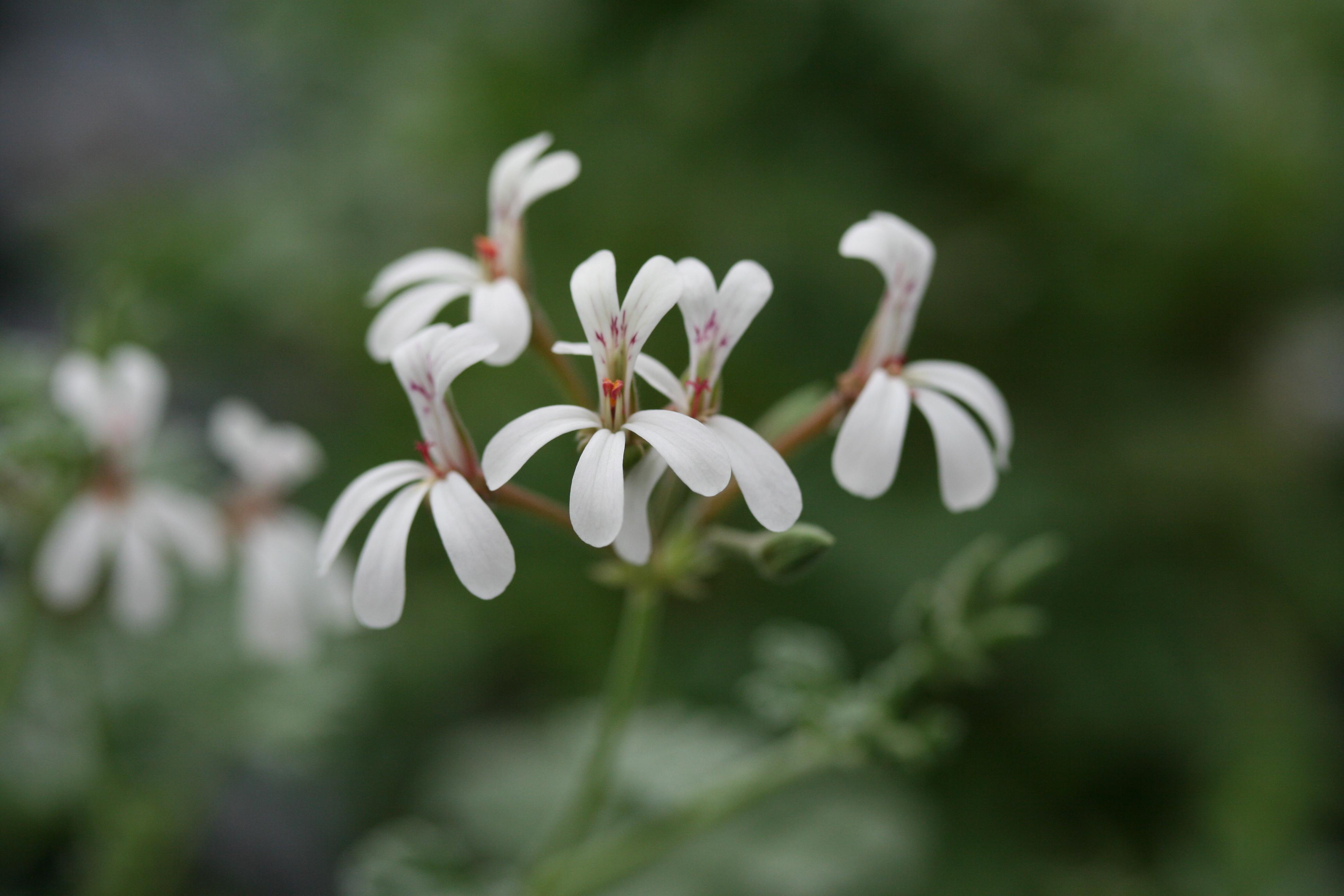 PELARGONIUM fragrans photo