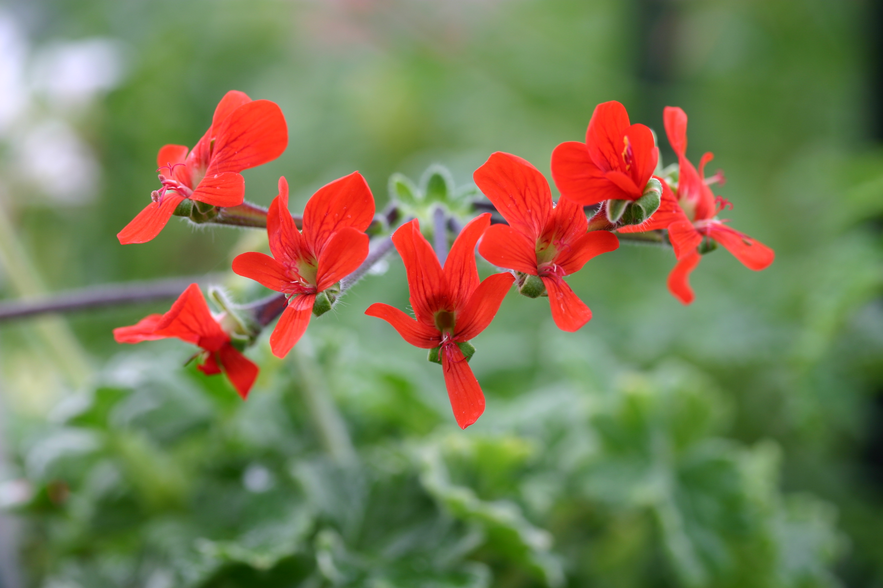 PELARGONIUM fulgidum photo