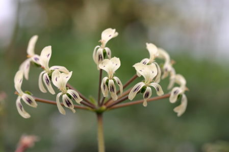 PELARGONIUM triste. Species Pelargonium - Woottens Plant Nursery
