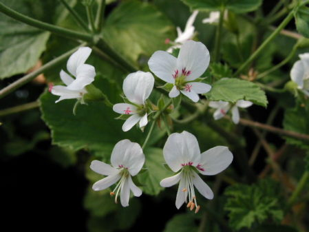 PELARGONIUM Apple Betty. Scented leaf Pelargonium - Woottens