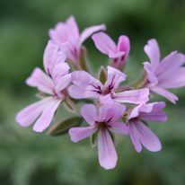 PELARGONIUM Grey Lady Plymouth Scented Leaf - Woottens