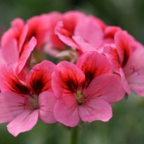 PELARGONIUM Hula. Unique Pelargonium - Woottens Plant Nursery