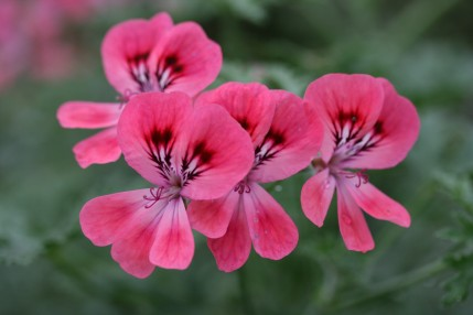 Pelargonium Specialists - Buy Pelargonium Online