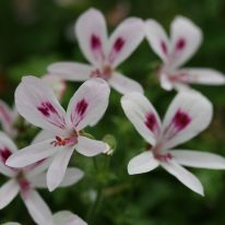 PELARGONIUM Lemon Kiss. Scented Leaf Pelargonium - Woottens