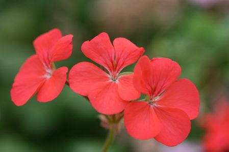 PELARGONIUM Betty Catchpole. Zonal Pelargonium - Woottens