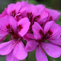PELARGONIUM Purple Unique. Unique Pelargonium - Woottens