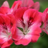 PELARGONIUM Pink Hindoo. Decorative Pelargonium - Woottens