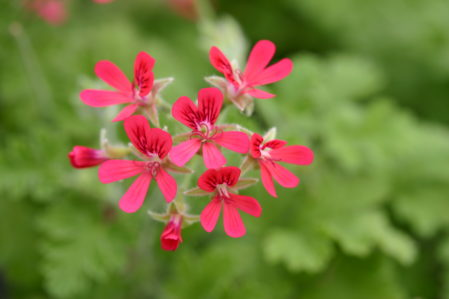 PELARGONIUM Shottesham Pet. Concolor Lace Scented Leaf - Woottens