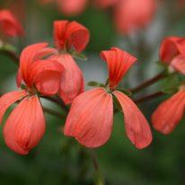 PELARGONIUM The Boar. Zonal Pelargonium - Woottens Plant Nursery