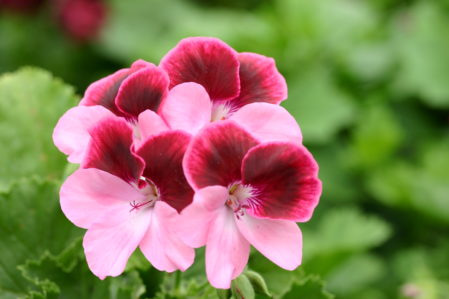 PELARGONIUM Vicki. Decorative regal Pelargonium - Woottens