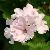 PELARGONIUM Whisper. Regal Pelargonium x domesticum - Woottens