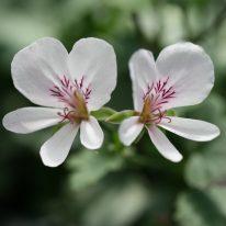 PELARGONIUM grandiflorum. Species Pelargonium - Woottens