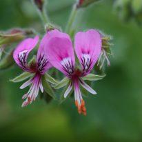 PELARGONIUM papilionaceum. Species Pelargonium - Woottens
