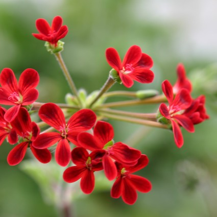 PELARGONIUM x ardens. Species Pelargonium - Woottens Plant Nursery