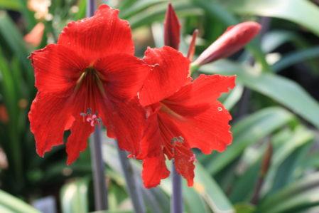 AMARYLLIS Prues Red - Woottens Plant Nursery