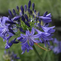 AGAPANTHUS Nothern Star - Woottens Plants