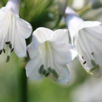 Agapanthus Windsor Grey - Woottens Plants