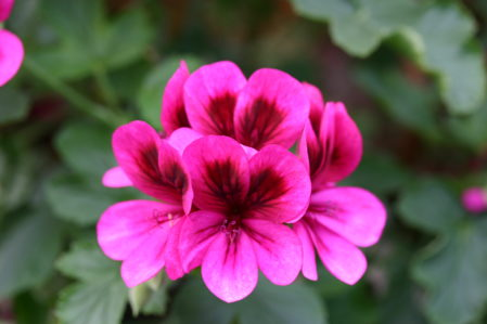 PELARGONIUM Ashby. Scented leaf. Edna Popperwell - Woottens