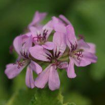 PELARGONIUM Atomic Snowflake Scented leaf Variegated - Woottens